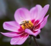Abeja en la flor rosada hermosa del bipinnatus del cosmea Fotos de archivo
