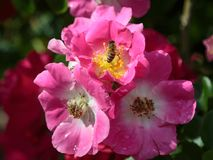 Abeja en la flor rosada: Kirsten Klein Rose Foto de archivo