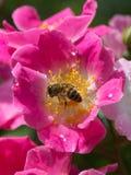 Abeja en la flor rosada: Kirsten Klein Rose Fotos de archivo libres de regalías
