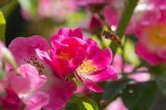 Abeja en la flor rosada: Kirsten Klein Rose Imágenes de archivo libres de regalías