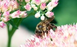 Abeja en la flor rosada en la naturaleza verde La abeja recoge el néctar Imágenes de archivo libres de regalías
