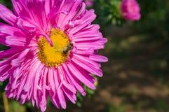 Abeja en la flor rosada púrpura del aster Foto de archivo