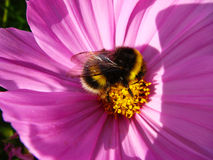 Abeja en la flor rosada Primer Imagen de archivo