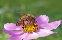 Abeja en la flor rosada y amarilla Imagenes de archivo