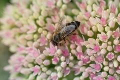 Abeja en la flor rosada y blanca del jardín de Sedum Imagen de archivo