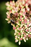 Abeja en la flor rosada y blanca del jardín de Sedum Fotografía de archivo libre de regalías