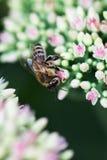 Abeja en la flor rosada y blanca del jardín de Sedum Imágenes de archivo libres de regalías
