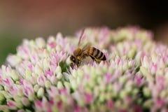 Abeja en la flor rosada y blanca del jardín de Sedum Imagenes de archivo
