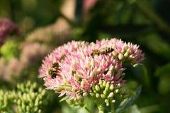 Abeja en la flor rosada y blanca del jardín de Sedum Foto de archivo libre de regalías