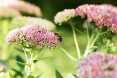 Abeja en la flor rosada y blanca del jardín de Sedum Fotos de archivo libres de regalías