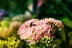 Abeja en la flor rosada y blanca del jardín de Sedum Foto de archivo
