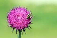 Abeja en la flor salvaje Imagen de archivo