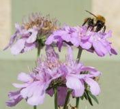 Abeja en la flor salvaje 3 Imágenes de archivo libres de regalías