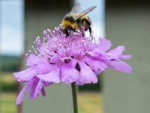 Abeja en la flor salvaje Imagenes de archivo
