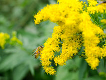 Abeja en la flor salvaje amarilla Imagen de archivo