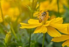 Abeja en la flor salvaje anaranjada o amarilla Fotografía de archivo libre de regalías