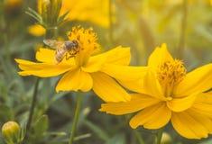 Abeja en la flor salvaje anaranjada o amarilla Imágenes de archivo libres de regalías