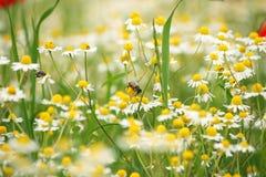 Abeja en la flor salvaje de la manzanilla Imágenes de archivo libres de regalías