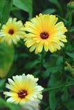 Abeja en la flor salvaje de la montaña Imagen de archivo