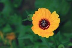 Abeja en la flor salvaje de la montaña Fotos de archivo