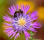 Abeja en la flor salvaje del cardo Imágenes de archivo libres de regalías