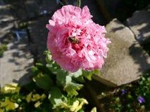 Abeja en la flor solitaria de la amapola Imagen de archivo