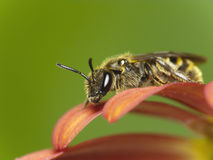 Abeja en la flor (SP de Lasioglossum.) Imagenes de archivo