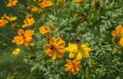 Abeja en la flor en un jardín Imagenes de archivo