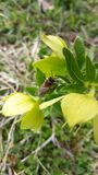 Abeja en la flor verde salvaje en naturaleza Fotografía de archivo libre de regalías