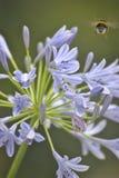 Abeja en la flor violeta Imágenes de archivo libres de regalías