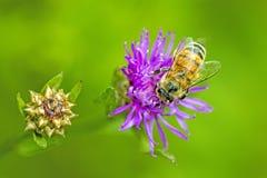 Abeja en la flor violeta Foto de archivo libre de regalías