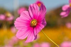 Abeja en la flor viva del cosmos rosado Fotografía de archivo libre de regalías