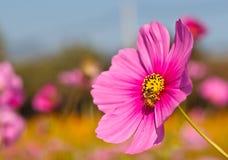 Abeja en la flor viva del cosmos rosado Fotos de archivo libres de regalías