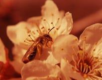 Abeja en la floración Fotografía de archivo