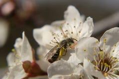 Abeja en la floración Fotos de archivo