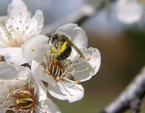 Abeja en la floración Imagenes de archivo