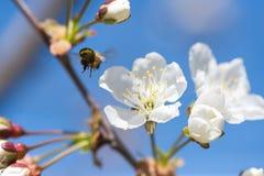Abeja en la floración Imágenes de archivo libres de regalías
