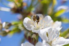 Abeja en la floración Foto de archivo libre de regalías