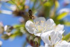 Abeja en la floración Imagen de archivo libre de regalías