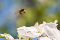 Abeja en la floración Fotos de archivo libres de regalías