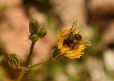 Abeja en la floración Foto de archivo