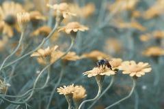 Abeja en la floración amarilla hermosa de las flores de la margarita Imágenes de archivo libres de regalías