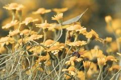 Abeja en la floración amarilla hermosa de las flores de la margarita Foto de archivo