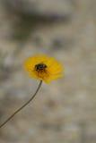 Abeja en la floración de Bitterweed Fotos de archivo libres de regalías