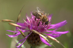 Abeja en la floración de la flor del cardo Imágenes de archivo libres de regalías