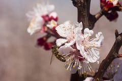 Abeja en la floración de los árboles de melocotón Foto de archivo