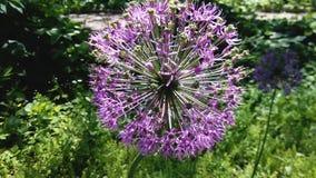 Abeja en la floración del cepa del allium Cebollas florecientes del bulbo de la primavera almacen de metraje de vídeo