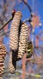 Abeja en la floración del nuez-árbol Fotos de archivo