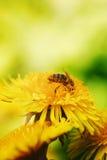 Abeja en la foto amarilla de la macro del diente de león Imagenes de archivo