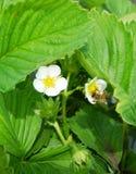 Abeja en la fresa de las flores Imagen de archivo libre de regalías